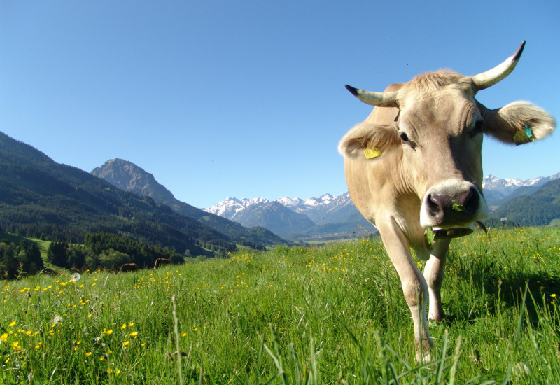 Cow on a mountain pasture