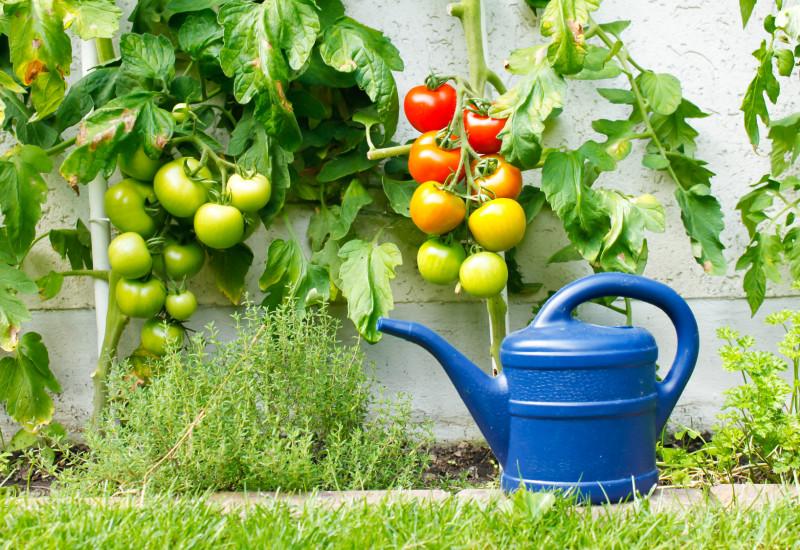 Tomatenpflanzen mit Gießkanne