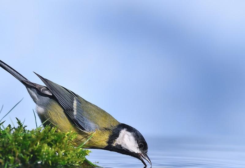 trinkender Vogel