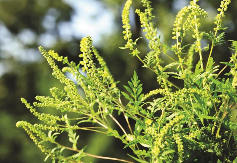 Das Bild zeigt die Großaufnahme einer blühenden Ambrosiapflanze.