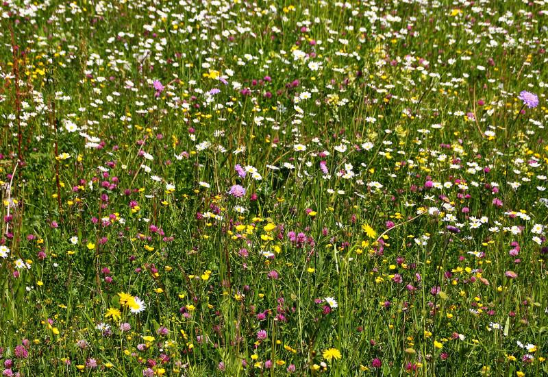 Nahaufnahme einer bunten Blumenwiese.