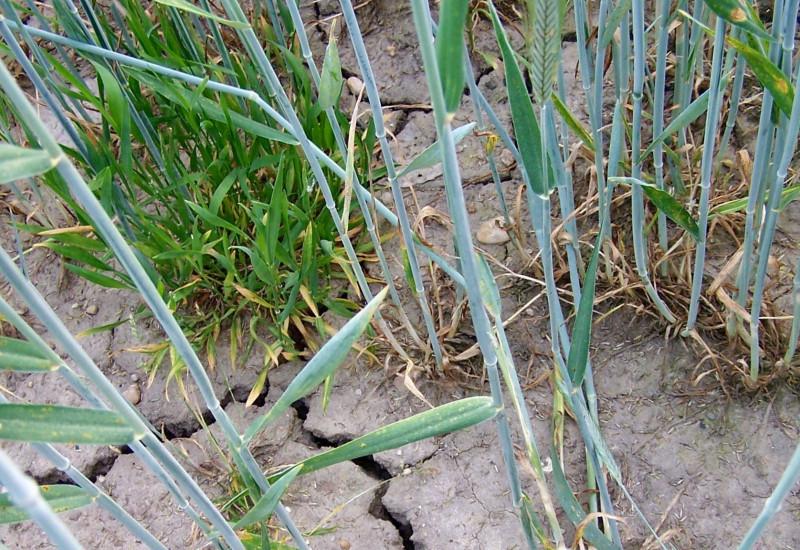 Ausgetrockneter Boden mit Trockenrissen, spärlich mit Gräsern und Getreide bewachsen.