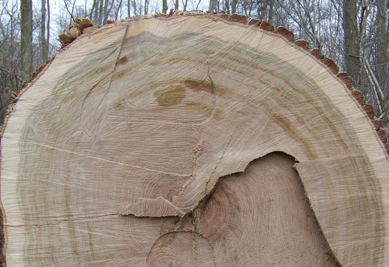 Blick auf Schnittfläche mit Jahresringen eines frisch geschlagenen Baumes.