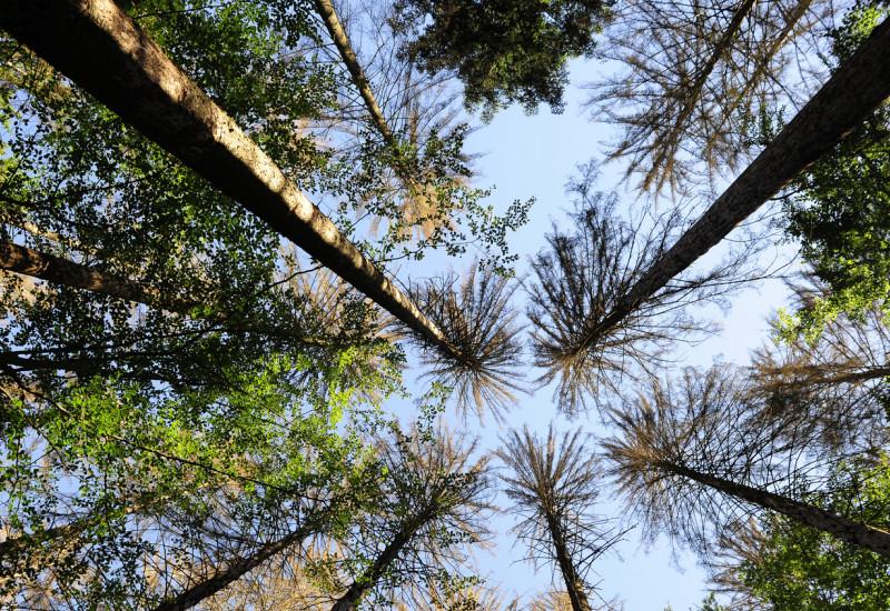 Stark ausgelichtete Nadelbäume von unten in den Himmel fotografiert.