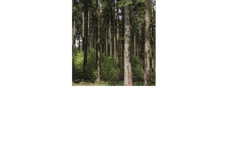 Unterpflanzung im Fichtenforst.