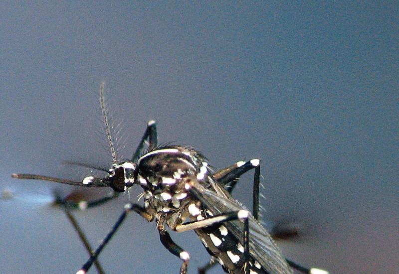 Großaufnahme einer Asiatischen Tigermücke auf Wasseroberfläche.