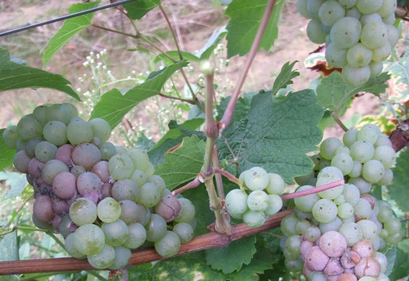 Ungeerntete Trauben der Weiße Riesling Weinrebe am Weinstock.