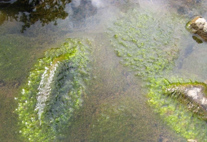 Viele grüne Algen, die sich um Steine herumlagern