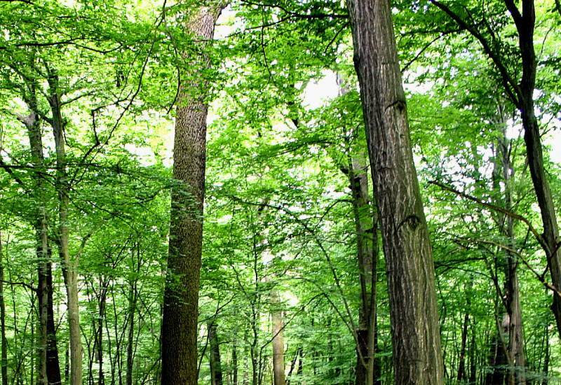 Ein Buchenwald mit grünem Blätterdach und Laub auf dem Waldboden.