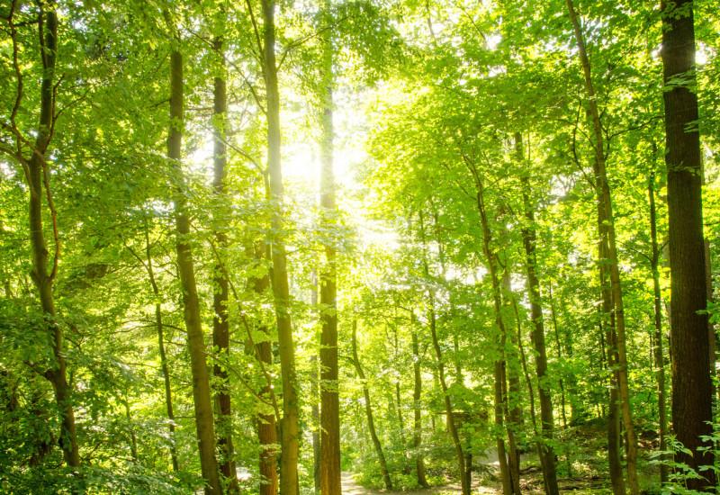 Die Sonne scheint durch ein grünes Blätterdach im Wald