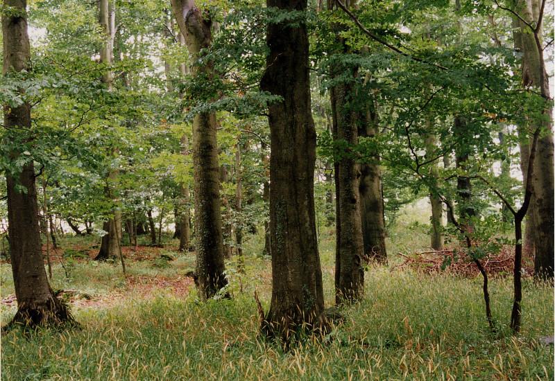 Bild eines naturnahen Waldgersten-Buchenwald mit Humusform Mull