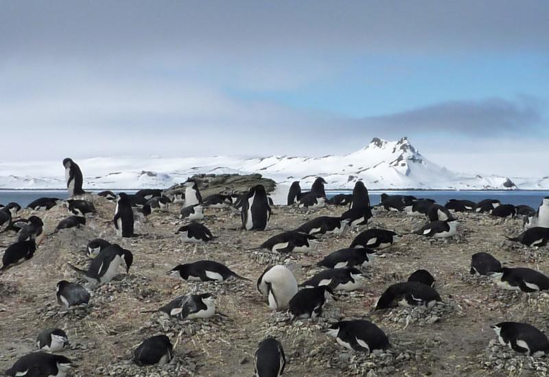 Zügelpinguine brüten auf einem Erdhügel. Im Hintergrund sieht man Meer und große Eismassen.