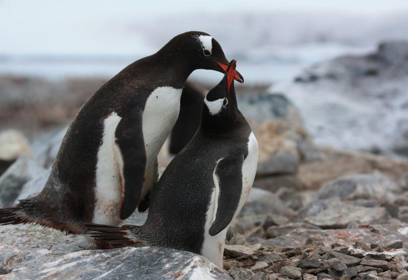 Zwei Pinguine schnäbeln.