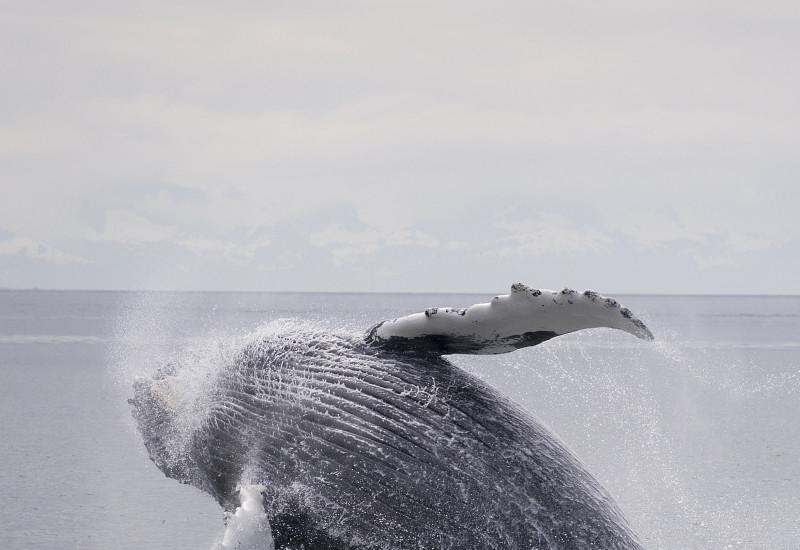 Ein großer Buckelwal beim Sprung aus dem Wasser. Er dreht sich im Flug auf die Seite. Nur noch seine Schwanzflosse ist im Wasser.
