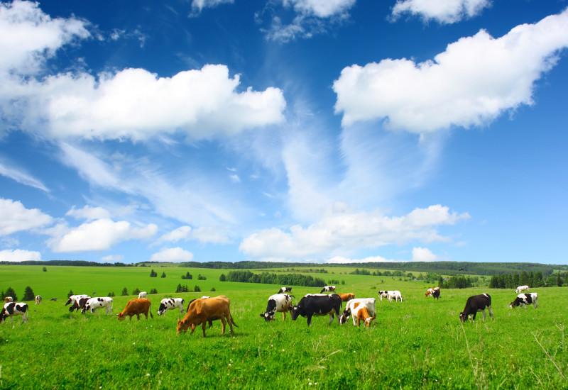 im unteren Bildrand: Kuhherde auf einer grasgrünen Weide, die weiden; im oberen Bildrand: blauer Himmel mit vielen Wolken