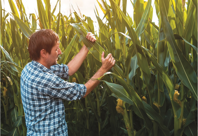 Das Bild zeigt einen Mann, der in einem Maisfeld steht und die Blätter einer Maispflanze begutachtet.