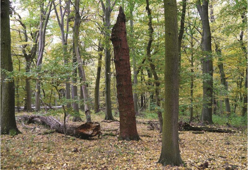 Das Bild zeigt einen lichten naturnahen Wald mit Laubbäumen. Ein Baum ist auf großer Höhe abgebrochen. Ein großer abgebrochener Stamm liegt am Boden.
