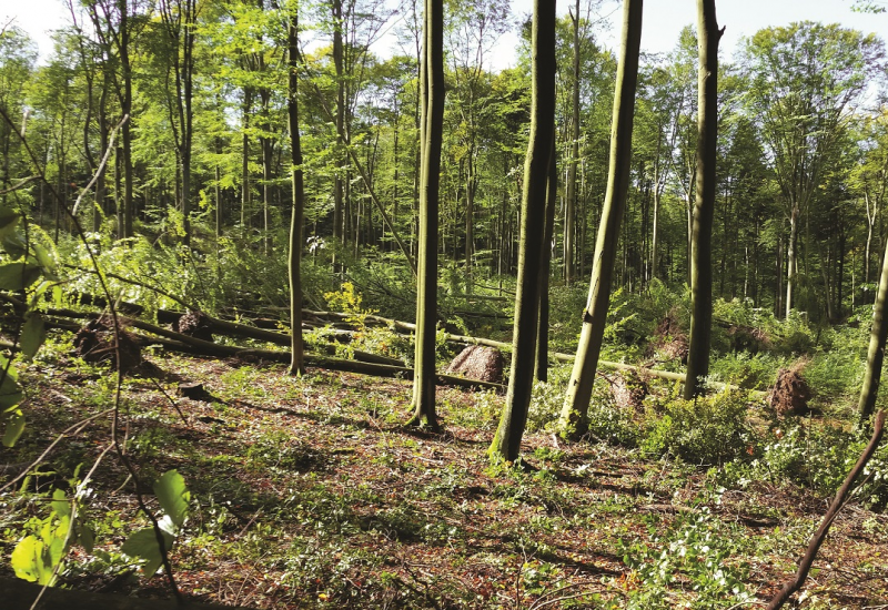 The picture shows a forest with beech trees. Numerous trees lie uprooted on the ground.