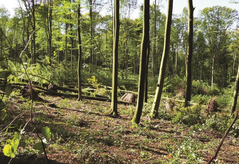 Das Bild zeigt einen Wald mit Buchen. Zahlreiche Bäume liegen entwurzelt am Boden.