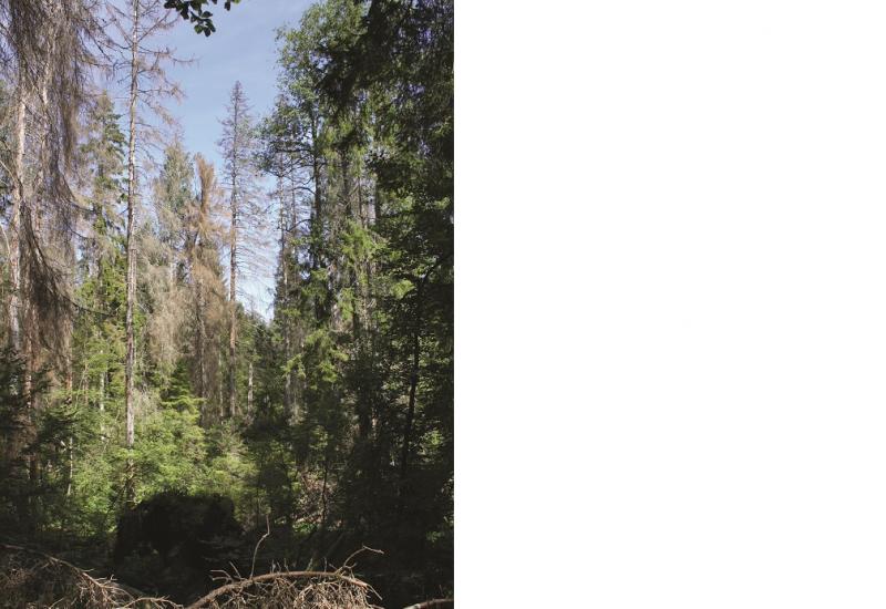 Das Bild zeigt einen dichten Fichtenwald. Mehrere Bäume sind abgestorben, im Vordergrund liegt trockenes Gestrüpp am Boden.