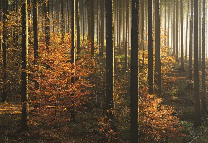 Das Bild zeigt einen herbstlichen Fichtenwald, an dessen Boden zahlreiche junge Buchen aufwachsen.