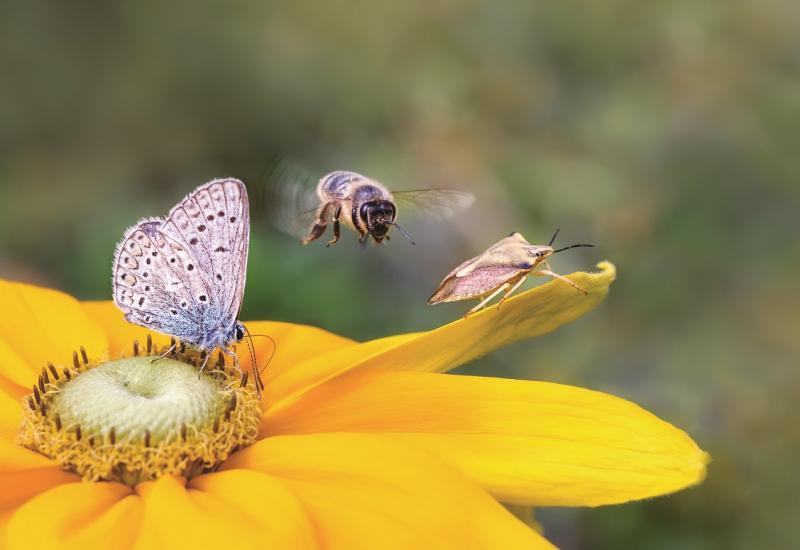 Das Bild zeigt in Nahaufnahme eine gelbe Blüte, auf der ein Schmetterling (Bläuling) und eine Wanze sitzen. Eine Biene ist gerade im Anflug.
