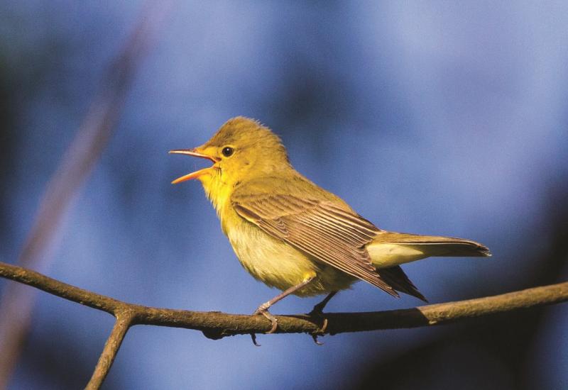 Das Bild zeigt einen singenden Gelbspötter, der auf einem Zweig sitzt.