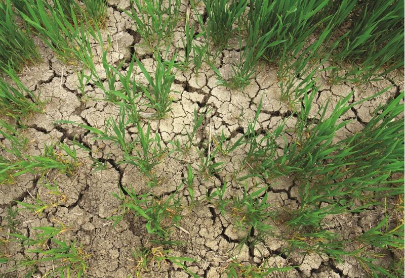 Das Bild zeigt einen stark ausgetrockneten, rissigen Boden, aus dem einzelne grüne Getreidehalme herauswachsen.