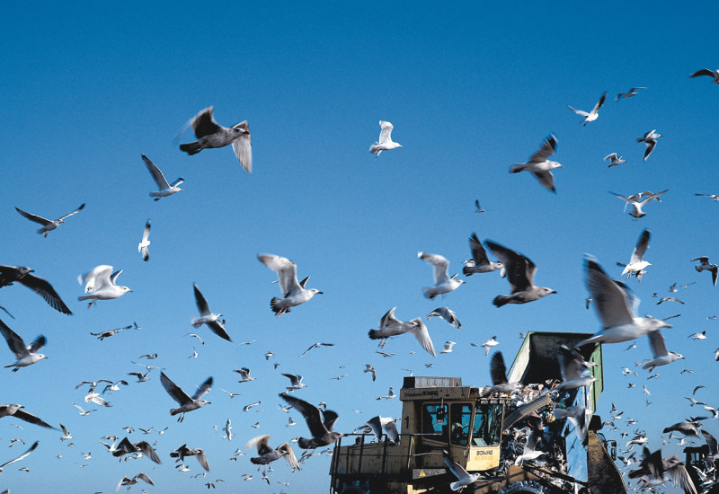 garbage dump and seagulls