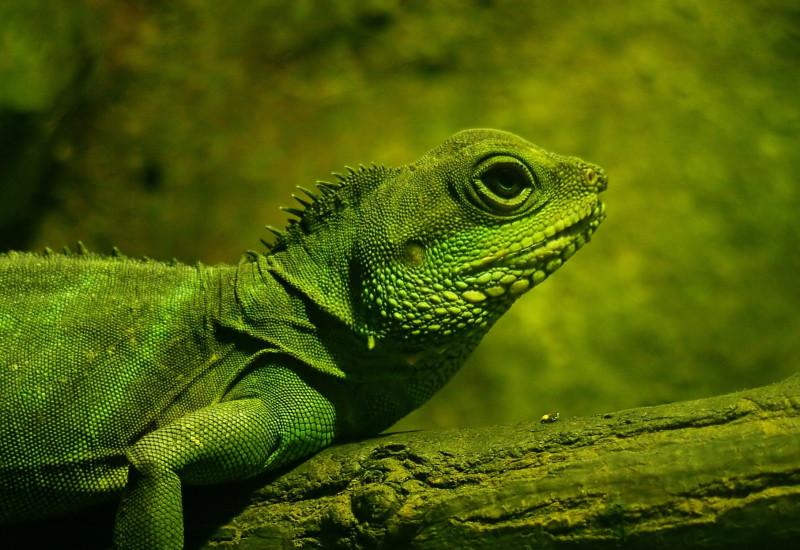 Ein grüner Leguan sitzt auf einem grünen Ast