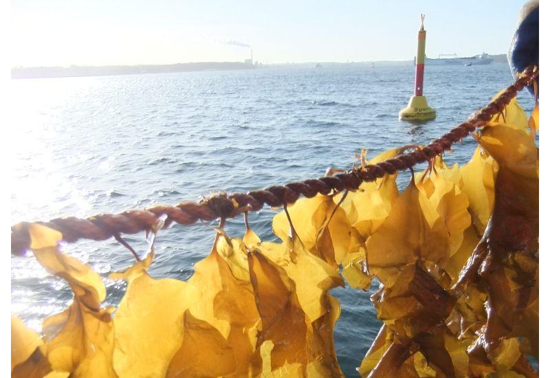 Algen hängen an einem Seil über der Meeresoberfläche