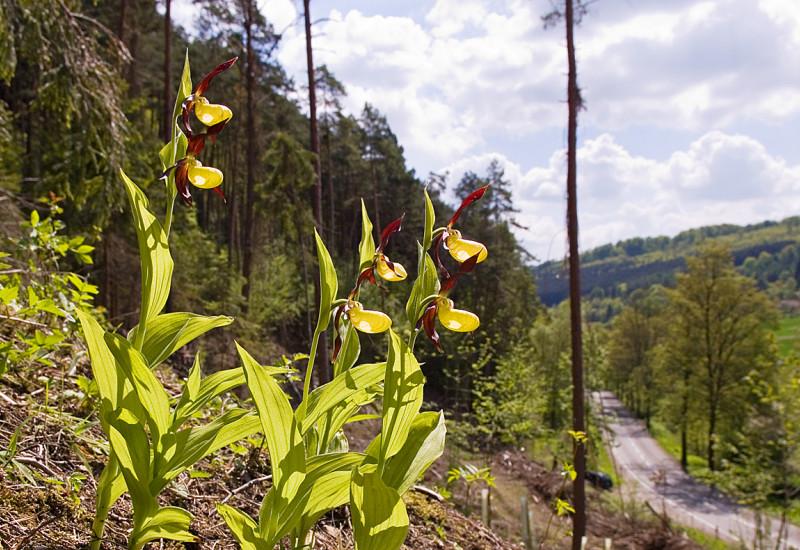 Gelbe Blume Frauenschuh an einem Hang am Waldrand.