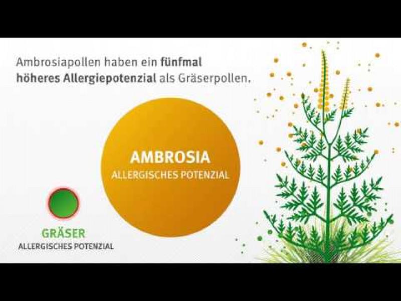 Ambrosia: Eine hochallergene Pflanze breitet sich aus